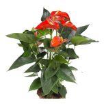 Anthurium Andreanum 'Missouri Orange' - Flamingoplant ↕ 60cm