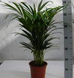 Areca Lutescens ↕ 65cm