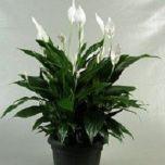 Spathiphyllum Claudius - Lepelplant ↕ 90cm
