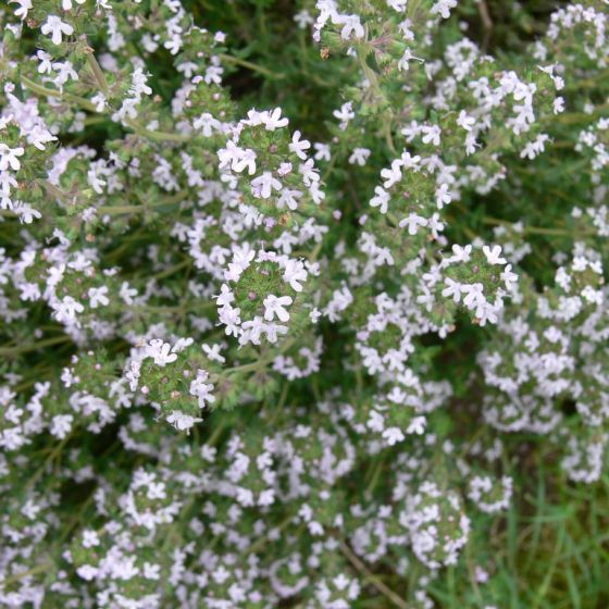 Thymus vulgaris - Echte Tijm kopen? | Het Groene Paradijs