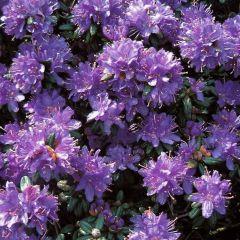 Rhododendron 'Russatum'