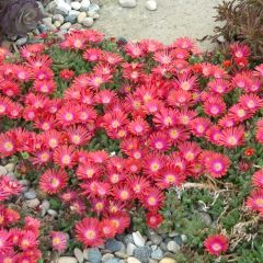 Delosperma 'Jewels mix'