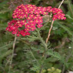 Foto van Achilea Paprika in bloei