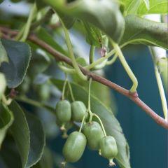 Actinidia arguta 'Issai' - Kiwiplant