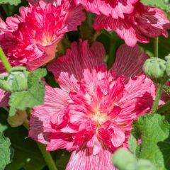 Alcea rosea 'Carmine Rose'
