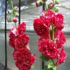 Alcea rosea 'Pleniflora' Rood