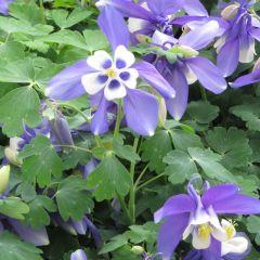 Aquilegia caerulea 'Spring Magic Blue & White'
