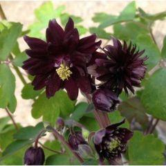 Aquilegia vulgaris Black Barlow - Akelei