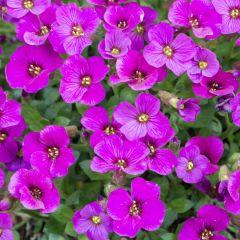 Aubrieta gracilis 'Florado Rose Red'