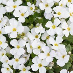 Aubrieta gracilis 'Florado White'