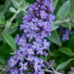 Buddleja davidii Free Petite 'Lavender'