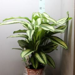 Calathea Goldstar - Pauwenplant ↕ 80cm