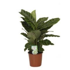 Calathea Zebrina - Pauwenplant ↕ 50cm