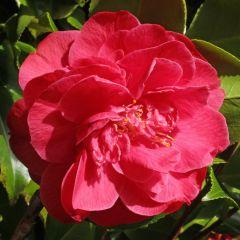 Camellia japonica Dr. King