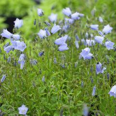 Campanula cochleariifolia 'Blue Baby'