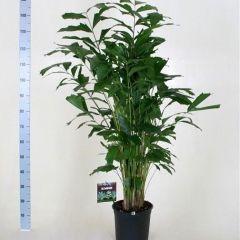 Caryota Mitis - Vissenstaart Palm ↕ 100cm