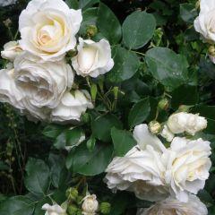 Rosa the Fairy 'White'