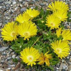 Delosperma congestum 'Yellow'