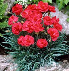 Dianthus plumarius 'David'