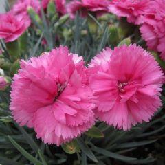 Dianthus plumarius 'Dinetta Pink'