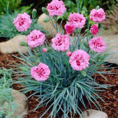 Dianthus plumarius 'Double Rose'
