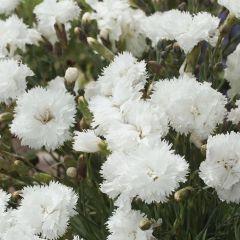 Dianthus plumarius 'Double White'