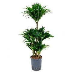 Dracaena Compacta - Drakenbloedboom vertakt ↕ 90cm