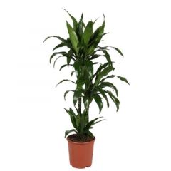 Dracaena fragrans 'Janet Craig' - Drakenbloedboom 3 toef ↕ 110cm