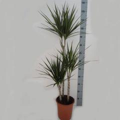 Dracaena Marginata - Drakenbloedboom 3 toef ↕ 115cm