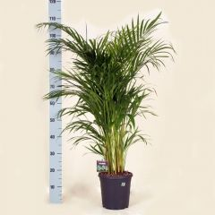 Areca Lutescens  - Goudpalm   ↕ 110cm