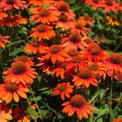Echinacea 'Lakota Orange'