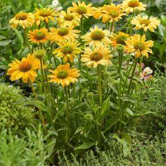 Echinacea purpurea 'Mellow Yellows'