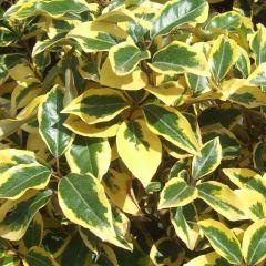 Elaeagnus ebbingei 'Limelight' - Olijfwilg