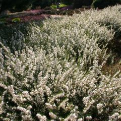 Erica darleyensis 'White Perfection'
