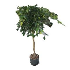 Ficus Foliole - Vijgenboom op stam ↕ 130cm