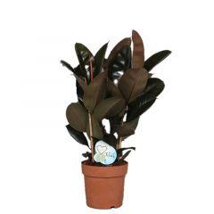 Ficus elastica 'Abidjan' - Rubberboom 3 toef ↕ 75cm