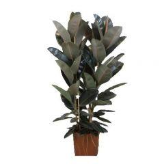 Ficus elastica 'Abidjan' - Rubberboom ↕ 130cm