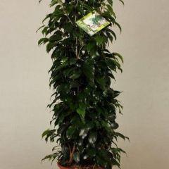 Ficus Danielle - Vijgenboom ↕ 145cm