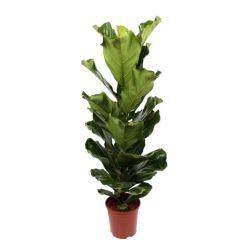 Ficus Lyrata - Tabaksboom ↕ 100cm