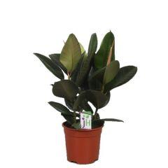 Ficus elastica Robusta - rubberplant ↕ 65cm