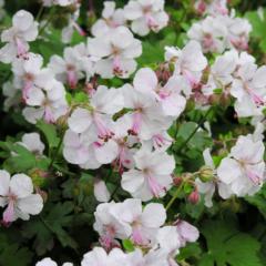 Geranium x cantabrigiense Biokovo