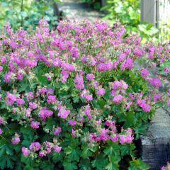 Geranium cantabrigiense 'Cambridge'