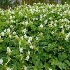 "Geranium macr. ""White Ness"""