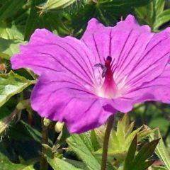 Geranium sanguineum 'Tiny Monster'