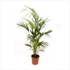 Howea Forsteriana -Kentia Palm ↕ 140cm