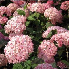 Hydrangea arborescens 'Sweet Annabelle'