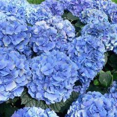 Hydrangea macrophylla Endless Summer 'The Original Blue'