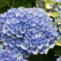 Hydrangea macr. Magical Revolution Blauw
