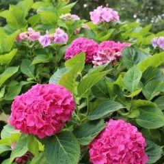 Hydrangea macrophylla Endless Summer 'The Orginal Pink'