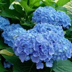Hydrangea macrophylla  'Forever & Ever'